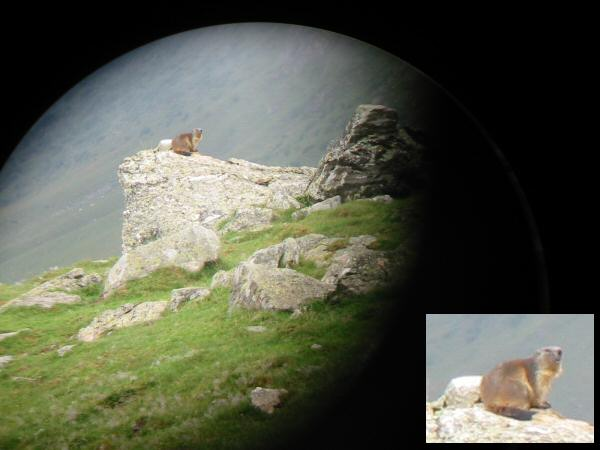 A Marmot, photo taken with the aid of some binoculars