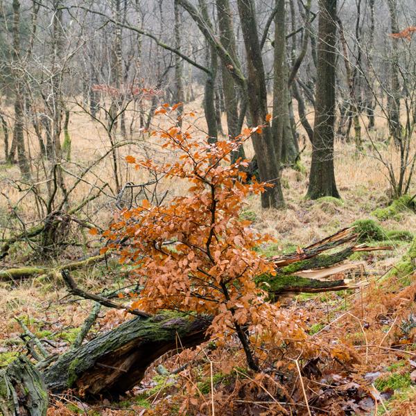 White Moss Wood