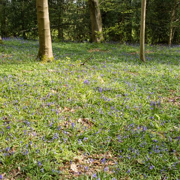 Bluebells in Castlehead Wood